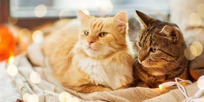 Heb je een voorkeur voor kortharige of langharige katten?
